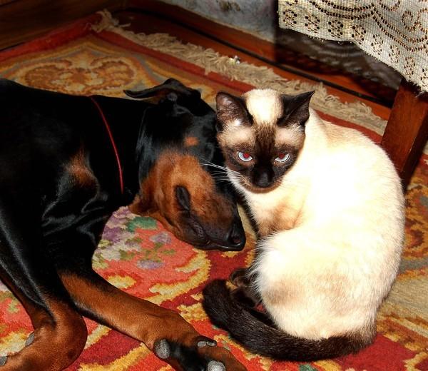 доберман и кошки